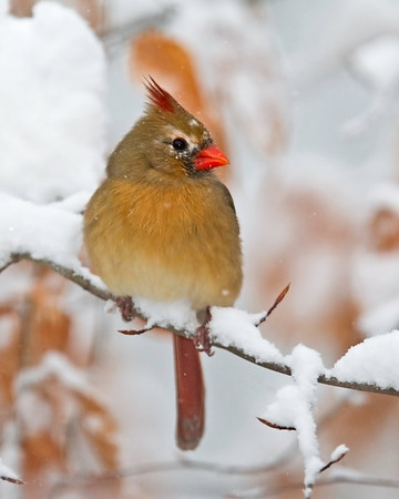 This photograph of a female Cardinal was captured in Lanexa, Virginia (12/10).  This photograph is protected by the U.S. Copyright Laws and shall not to be downloaded or reproduced by any means without the formal written permission of Ken Conger Photography.