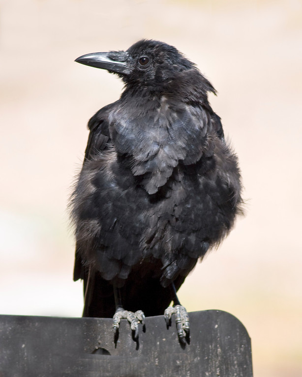 This photograph of a Raven was captured in Rocky Mountain National Park, Colorado (9/08).     This photograph is protected by the U.S. Copyright Laws and shall not to be downloaded or reproduced by any means without the formal written permission of Ken Conger Photography.