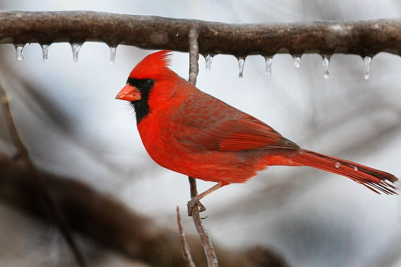 Captured this photograph of a Cardinal in Lanexa, Virginia just after an ice storm (1/05).  This photograph is protected by the U.S. Copyright Laws and shall not to be downloaded or reproduced by any means without the formal written permission of Ken Conger Photography.