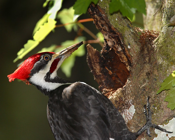 This Pileated Woodpecker photograph was captured at Corkscrew Swamp Sanctuary (2/07).  This photograph is protected by the U.S. Copyright Laws and shall not to be downloaded or reproduced by any means without the formal written permission of Ken Conger Photography.
