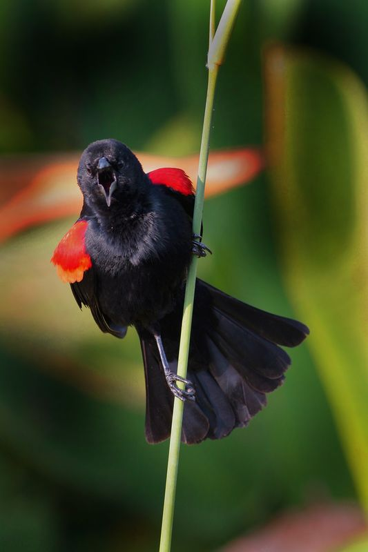 This photograph of a male Red-winged Blackbird was taken in Wakodahatchee Wetlands in Delray Beach, Florida (4/05).  This photograph is protected by the U.S. Copyright Laws and shall not to be downloaded or reproduced by any means without the formal written permission of Ken Conger Photography.