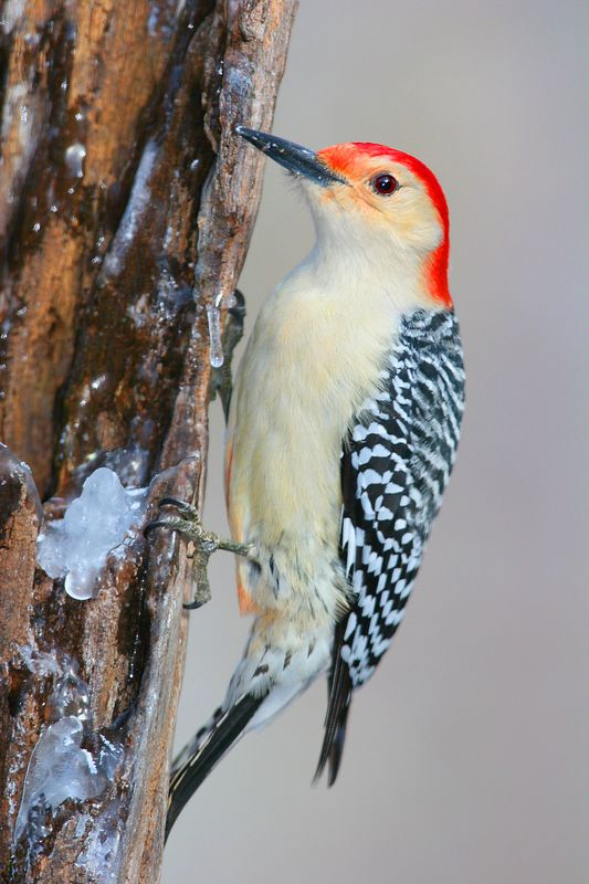 This photograph of Red-bellied woodpecker was taken in Lanexa, Virginia (1/05).  This photograph is protected by the U.S. Copyright Laws and shall not to be downloaded or reproduced by any means without the formal written permission of Ken Conger Photography.