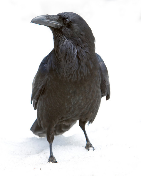 This photograph of a Raven was captured in Yellowstone National Park (4/09).  This photograph is protected by the U.S. Copyright Laws and shall not to be downloaded or reproduced by any means without the formal written permission of Ken Conger Photography.