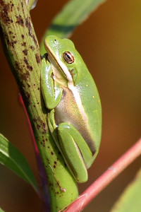 Have only seen this green tree frog once.  I'm afraid he may have become a meal for the bullfrogs :(