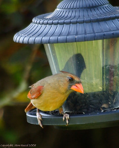 Female Cardinal at the feeder...