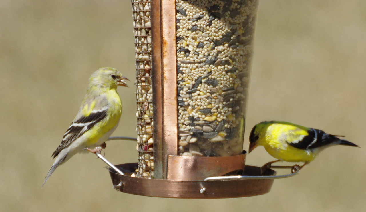 Male and Female Goldfinch munching