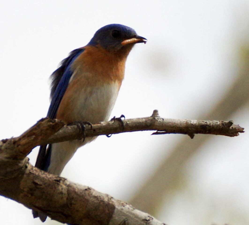 Daddy Bluebird