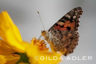 backyard butterflies