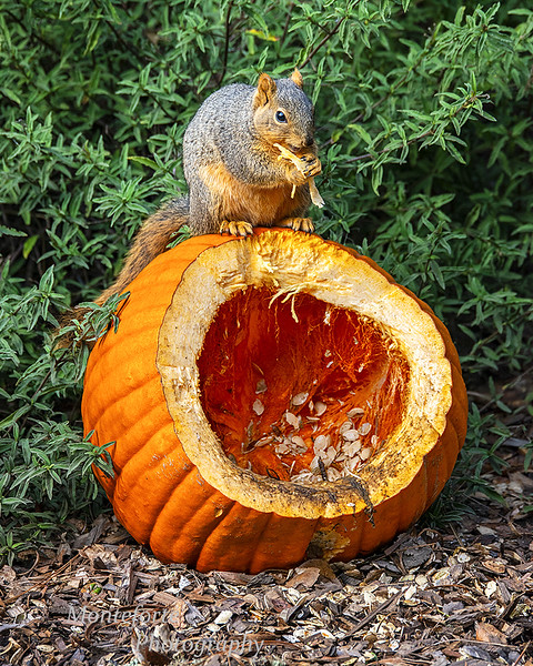 Squirrel eating pumpkin seeds