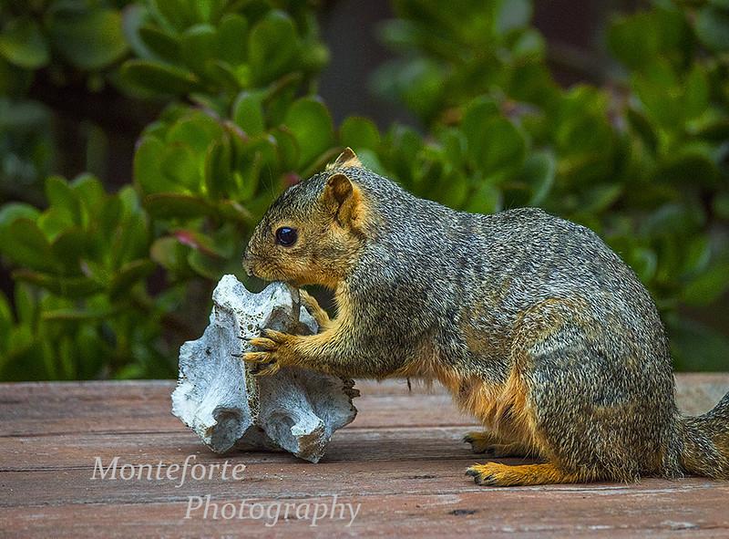 Squirrel gnawing on moose vertebrate