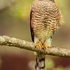 Sharp Shinned Hawk Accipiter striatus