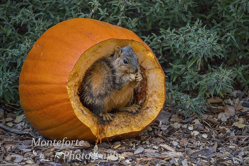 Squirrel and pumpkin