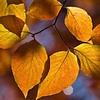 Dogwood leaves, late autumn