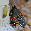 Black Swallowtail - Newly emerged w/chrysalis