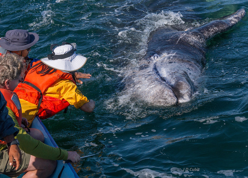 A gray whale calf does a side roll to get attention.