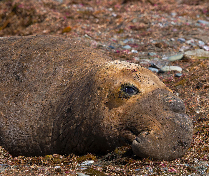 Mature male elephant seal.