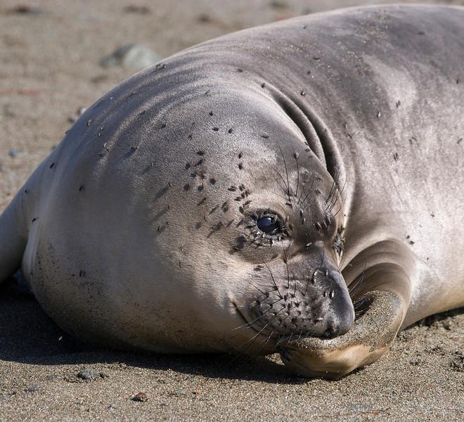 Elephant seal pup.