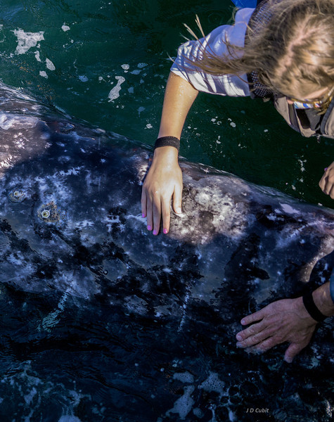 A female gray whale seeks attention.
