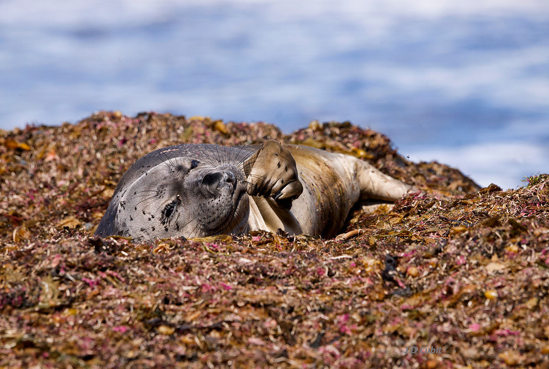 Elephant seal pup dozing in a bed of seaweed wrack.