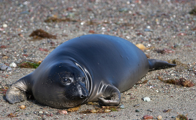 An elephant seal pup in a shiny new coat after its first molt.