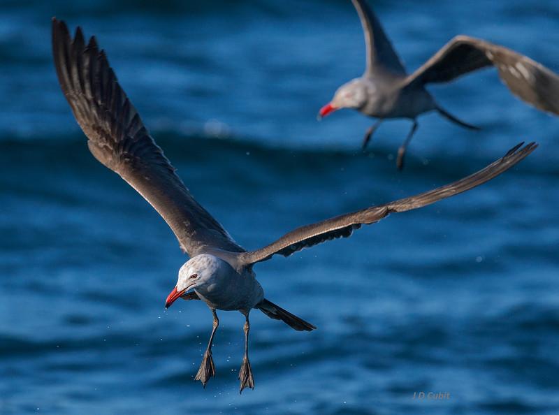 Heermann's Gulls following the boat off the Pacific coast of Baja.