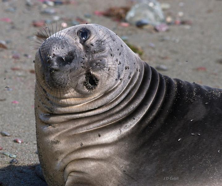A weaned elephant seal pup besieged by kelp flies.