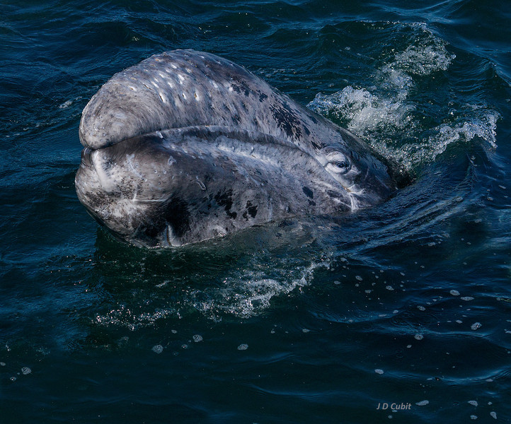 Urged on by its mother, a gray whale calf approaches a skiff.