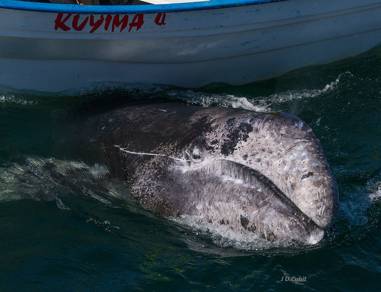 Like a bear scratching its back on a tree, this gray whale calf rubs its back on a stationary skiff.