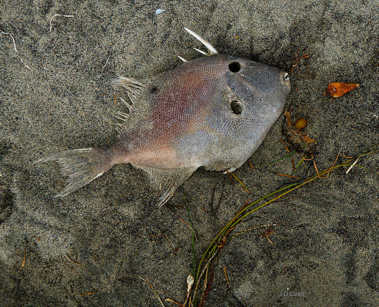 Trigger fish on the beach at Isla San Martín.