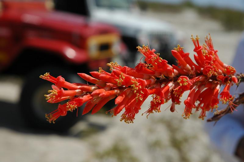 often overlooked - the stunningly beautiful Ocotillo flower