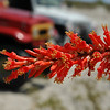 often overlooked - the stunningly beautiful Ocotillo flower