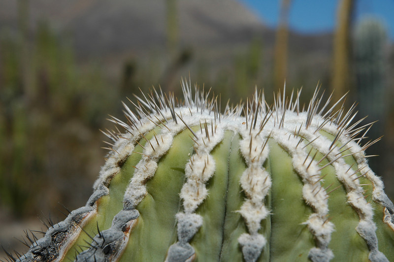 top of a young Cardon cactus