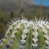 top of a young Cardon cactus
