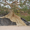 a sensation are the fig trees in Baja - the trunk sits up high on some rocks or on a cliff side and the roots flow towards the water source