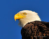 Bald Eagle Close 07