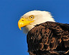 Bald Eagle Close 06