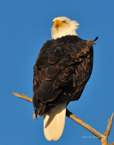 Bald Eagle Close 02