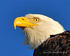 Bald Eagle Close 08