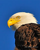Bald Eagle Close 05