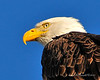 Bald Eagle Close 04