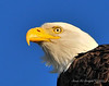 Bald Eagle Close 16
