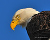 Bald Eagle Close 13