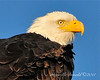 Bald Eagle Close 03