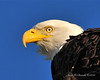 Bald Eagle Close 10