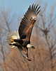 Bald Eagle Swooping09