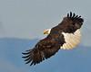Bald Eagle Swooping02