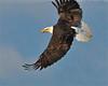 Bald Eagle Swooping12