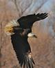 Bald Eagle Swooping10