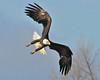 Bald Eagle Swooping06