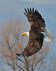 Bald Eagle Swooping13